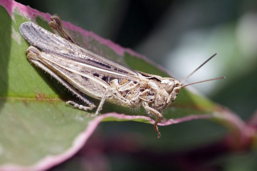 DRY PRAIRIE WEATHER FAVOURING GRASSHOPPERS