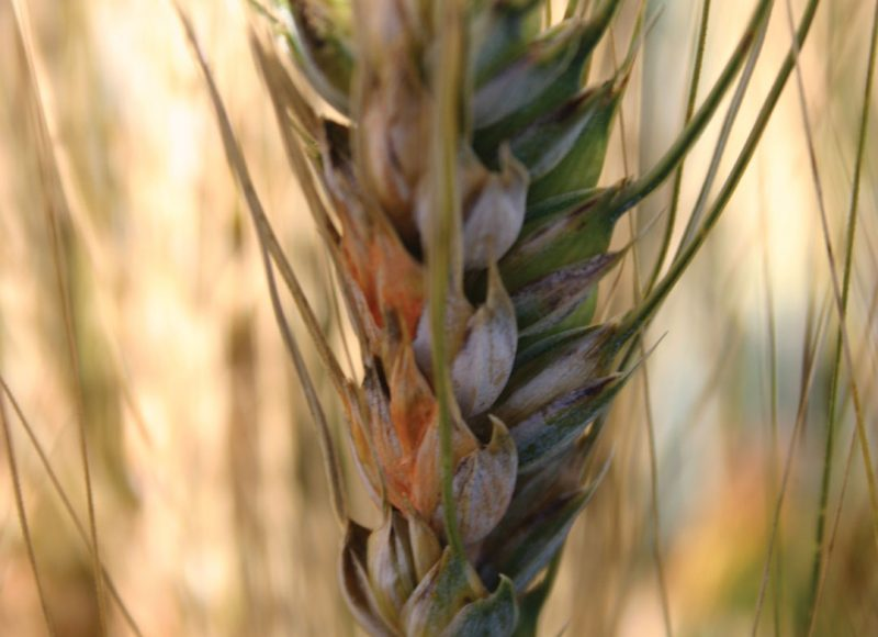 FHB RESISTANCE IN DURUM A WORK IN PROGRESS
